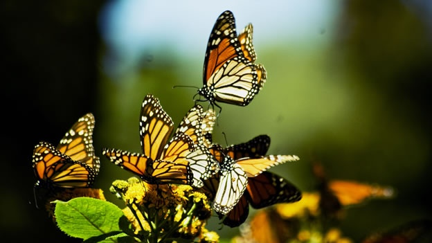 Las mariposas monarca viajan unos 4,500 km desde Canadá y EU hasta México.